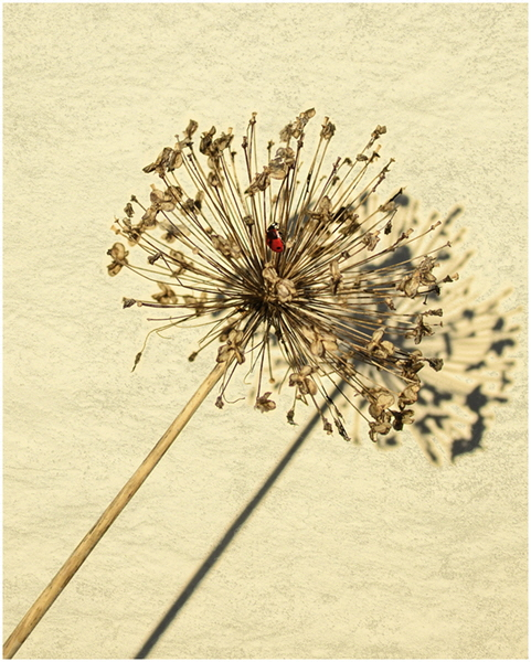 2 Sue Parry - Seed Head