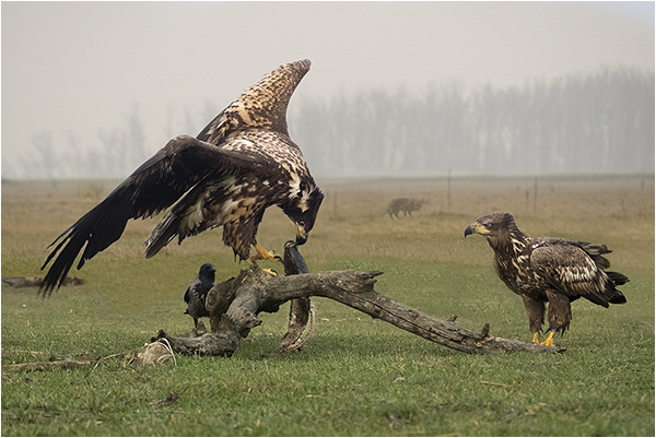 2 White Tailed Sea Eagles - Sian Davies