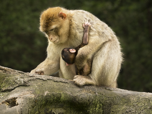 C - Macaque with baby - Sian Davies